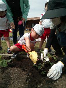 夏野菜とお芋の苗を植えました♬